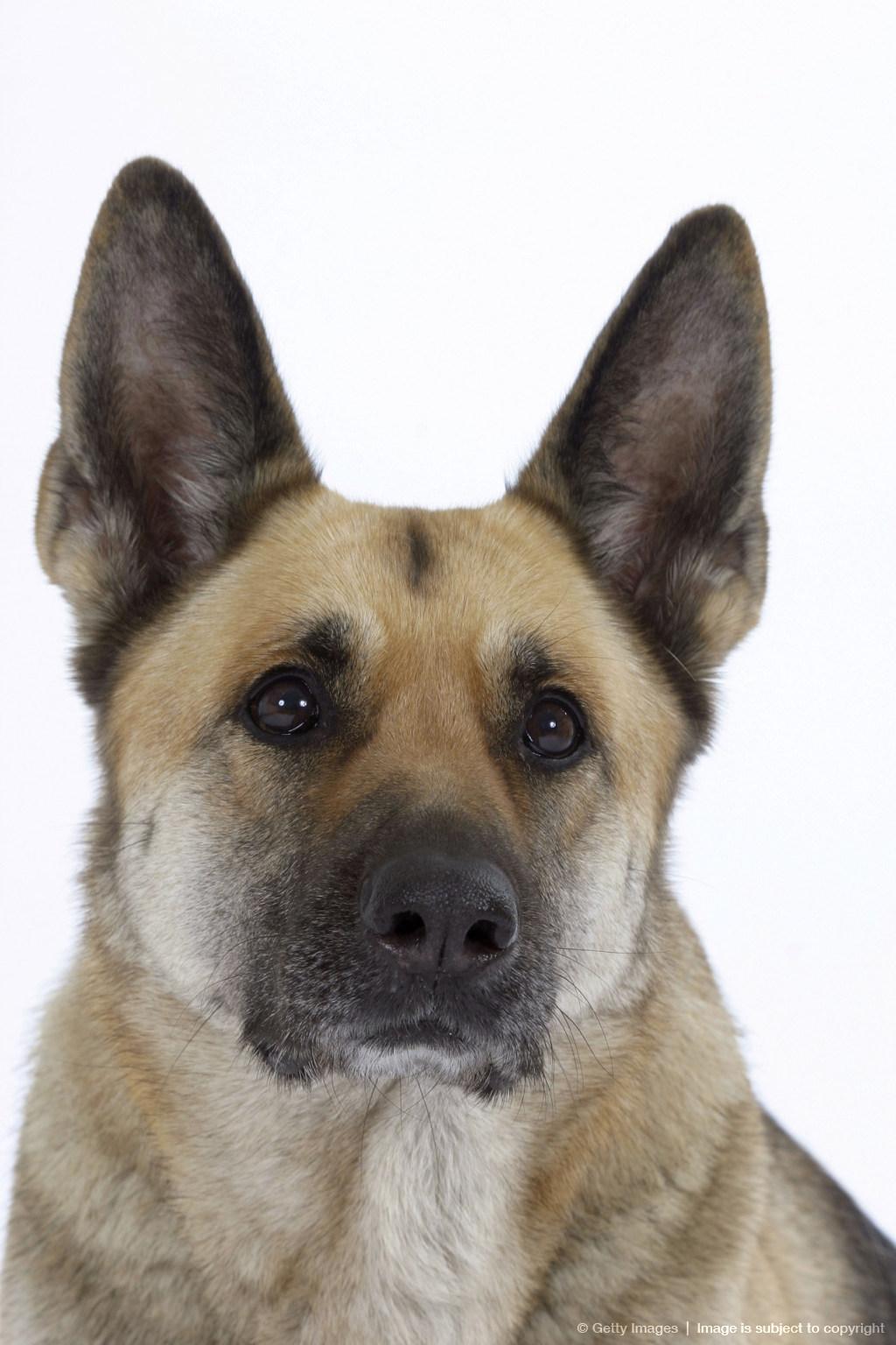 german shepherd dog alsatian   m5x eu