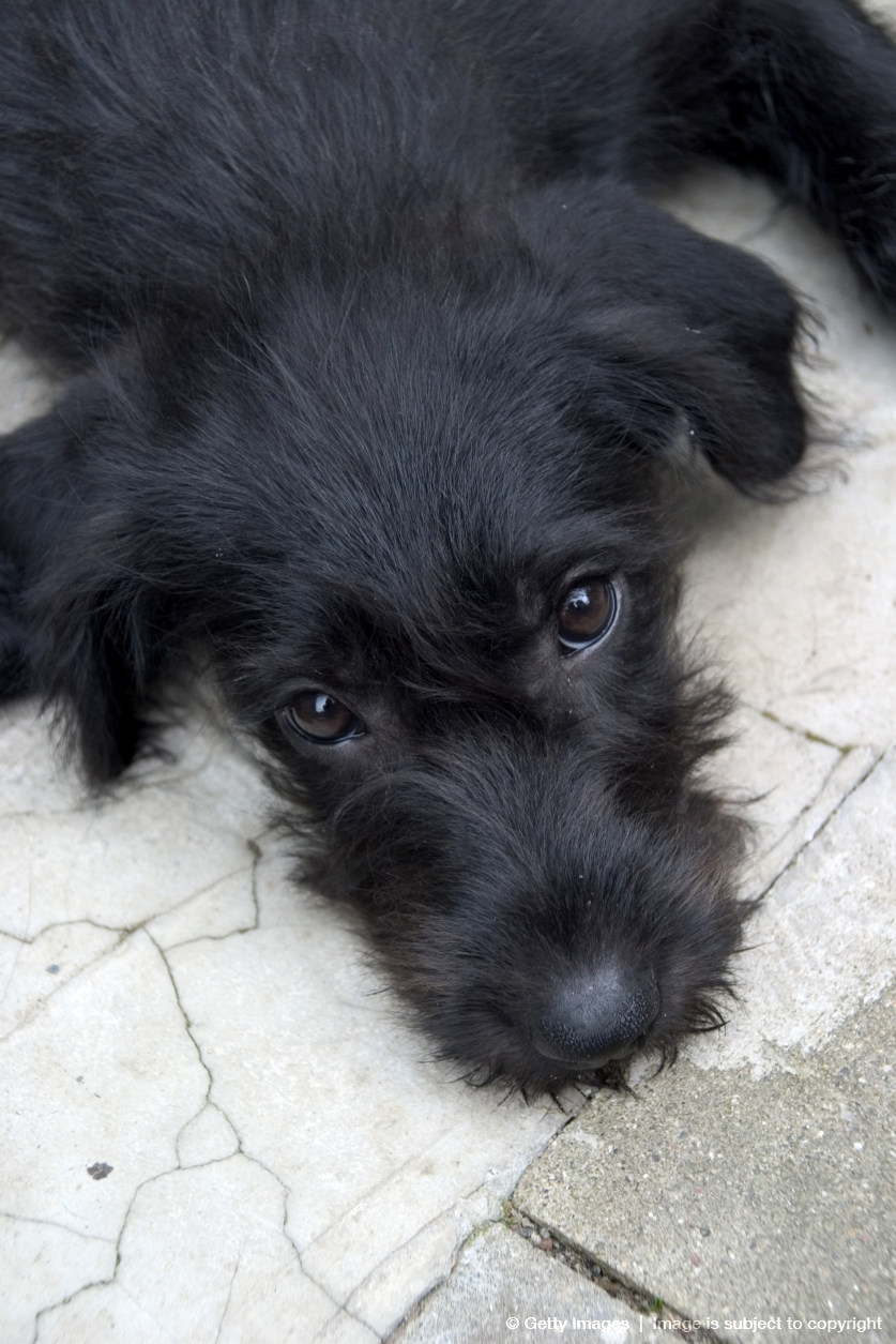Schnauzer/Black Labrador mixed breed