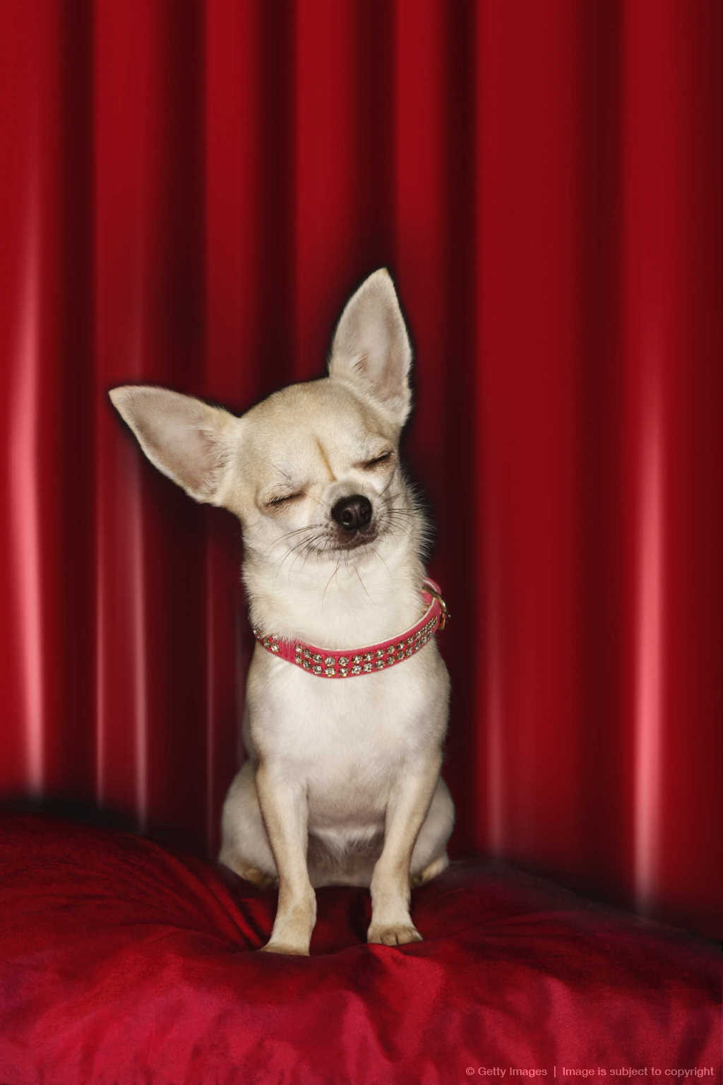 Chihuahua with Eyes Closed on Red Pillow