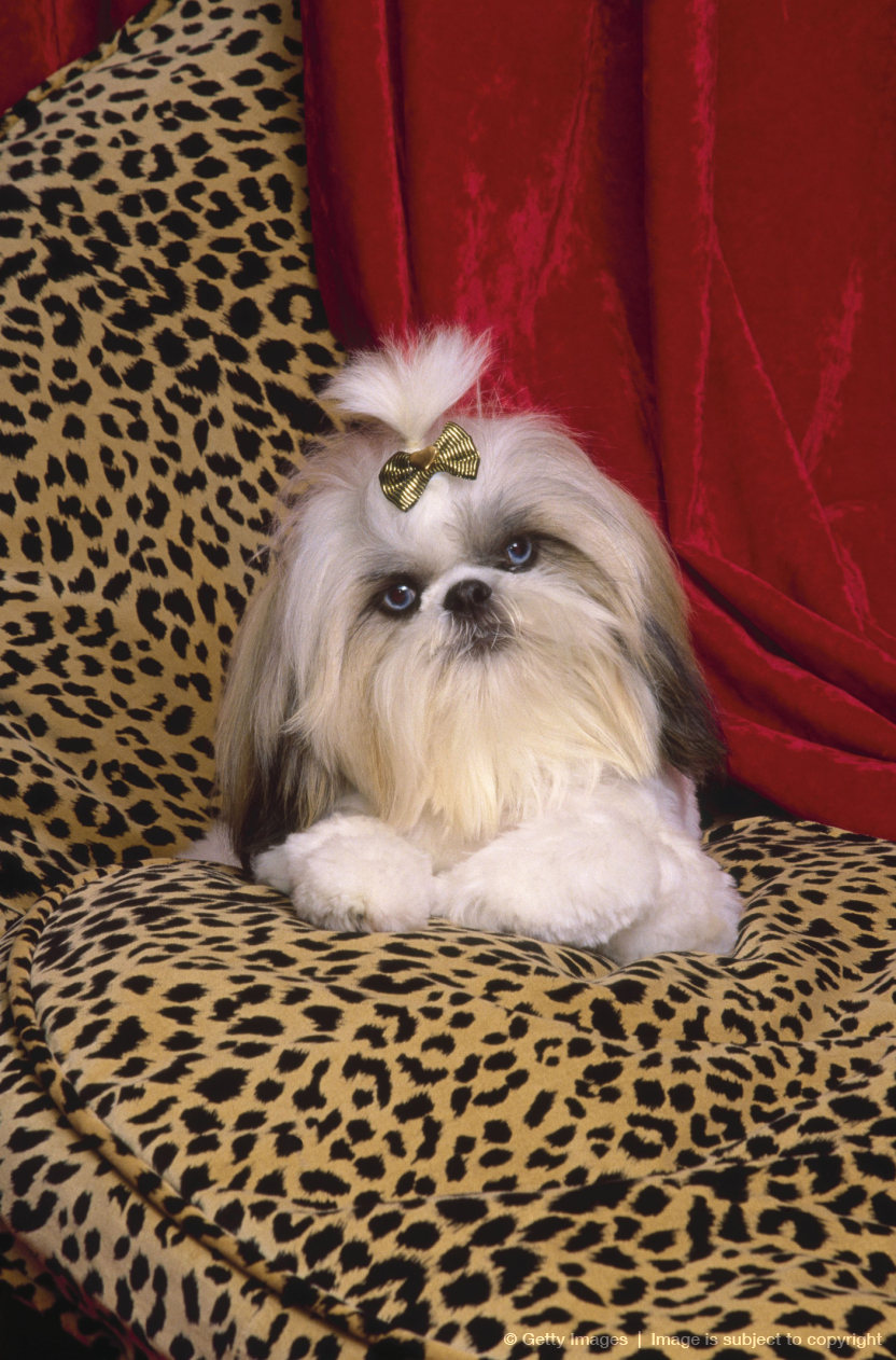 Shih Tzu, Glamour dog on pillow