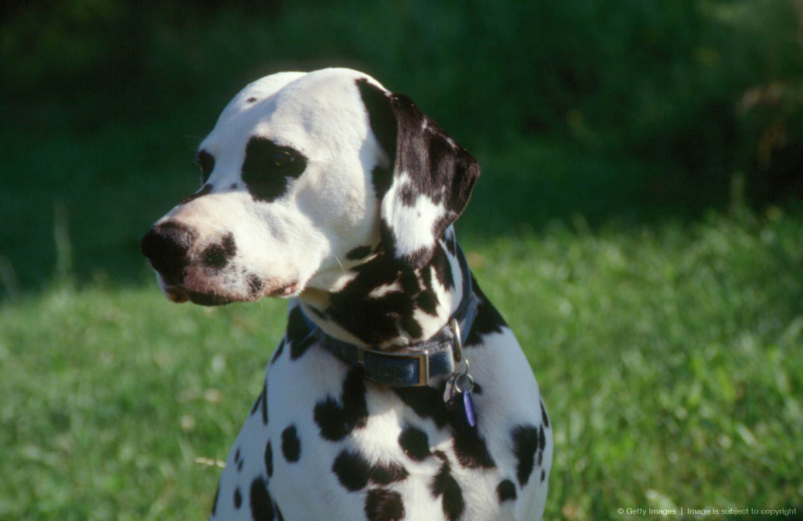 Dalmatian Puppy outside.