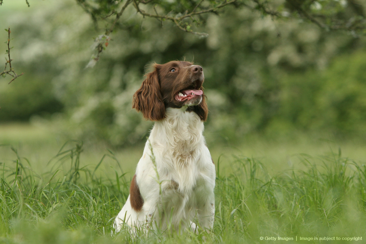 English Springer Spaniel (Canis lupus familiaris)