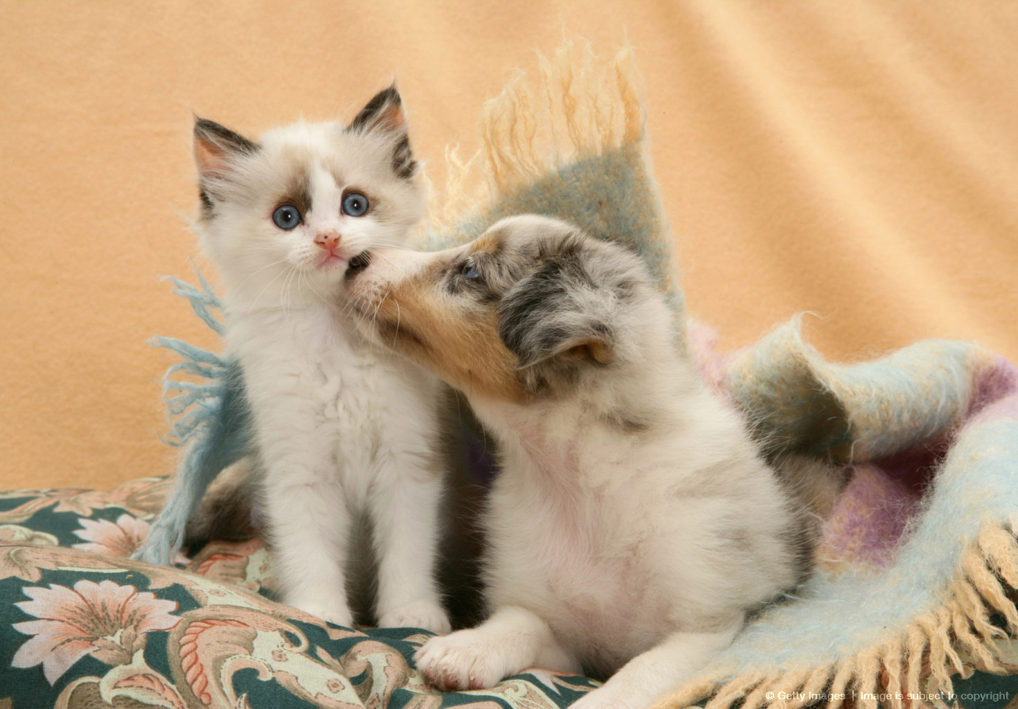 Birman-cross kitten and Shetland Sheepdog pup under a scarf.