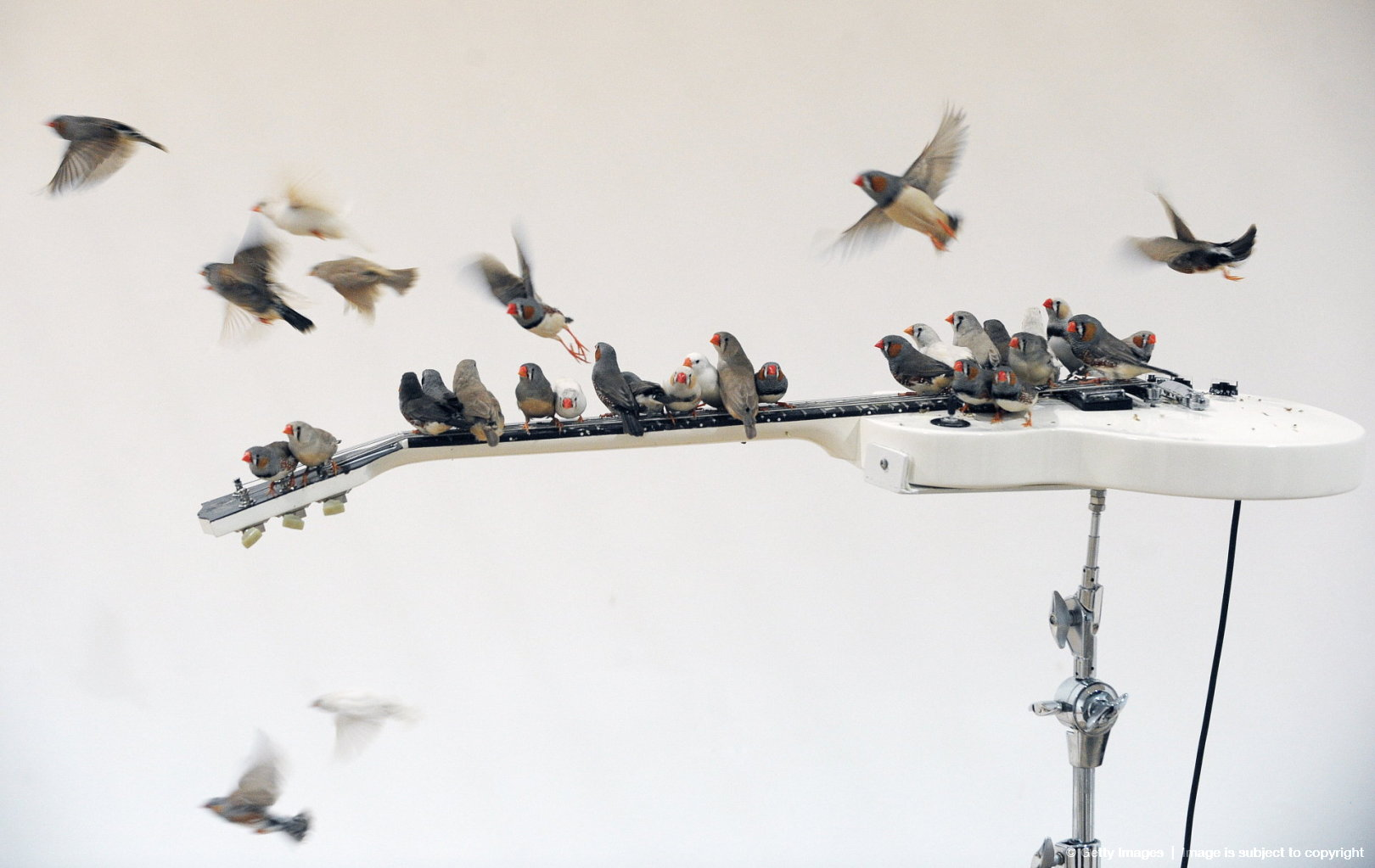 Birds called Zebra Finches perch on an e