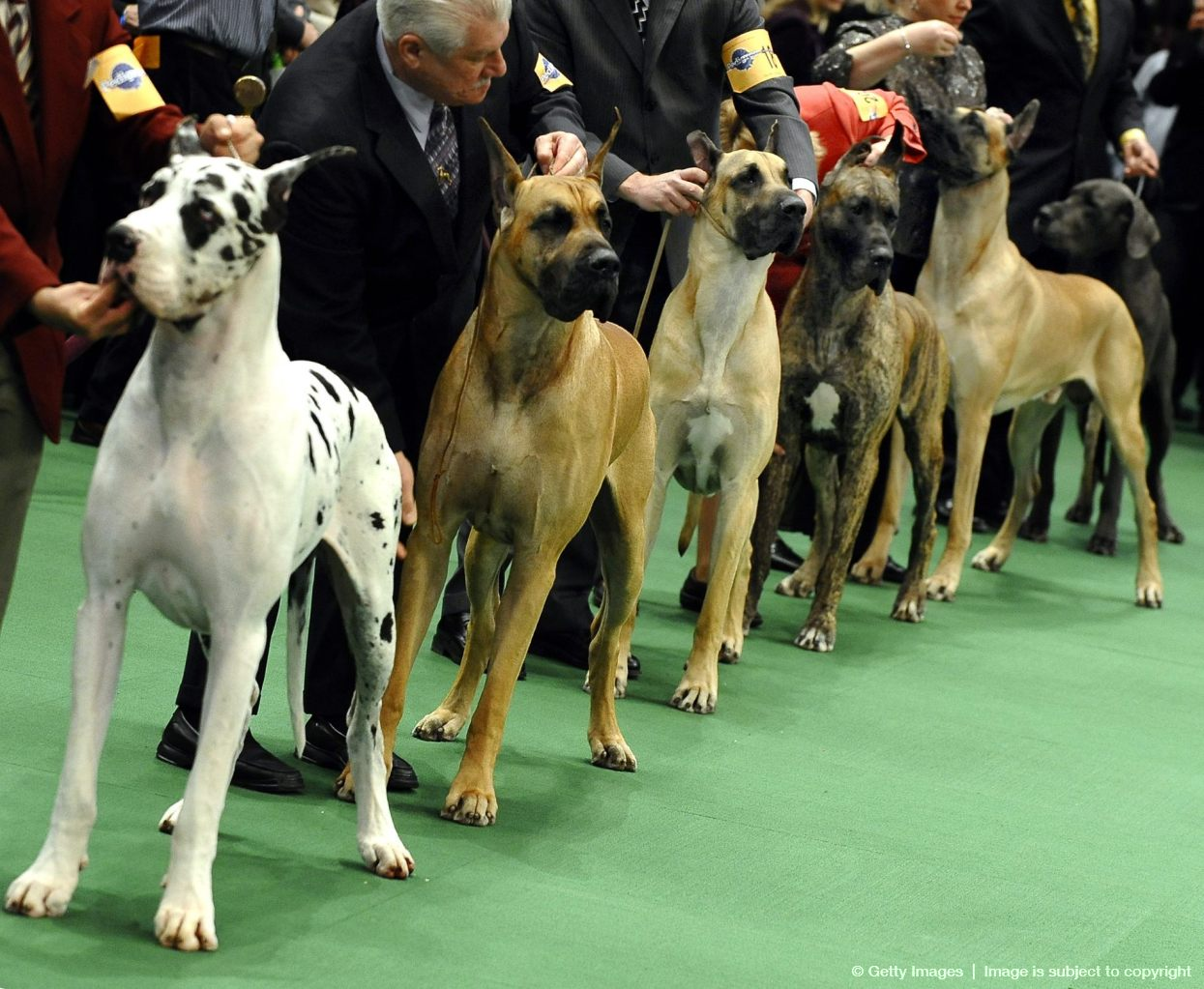 Great Danes are lined up during judging