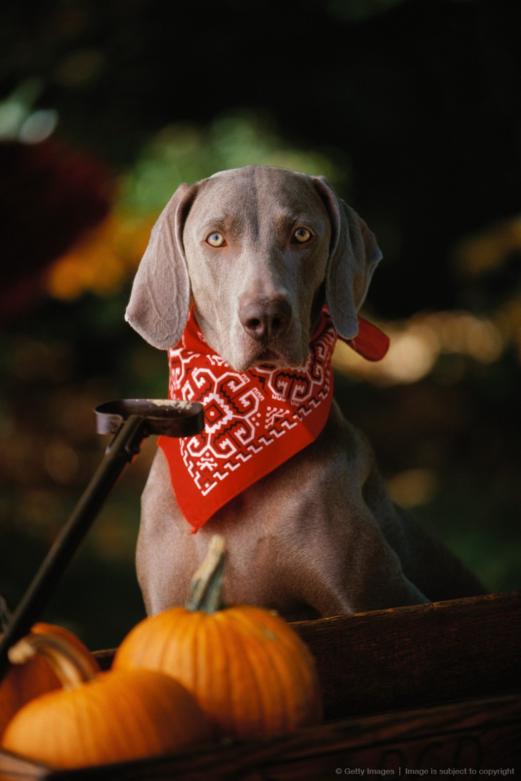 Weimaraner Wearing a Red Bandana