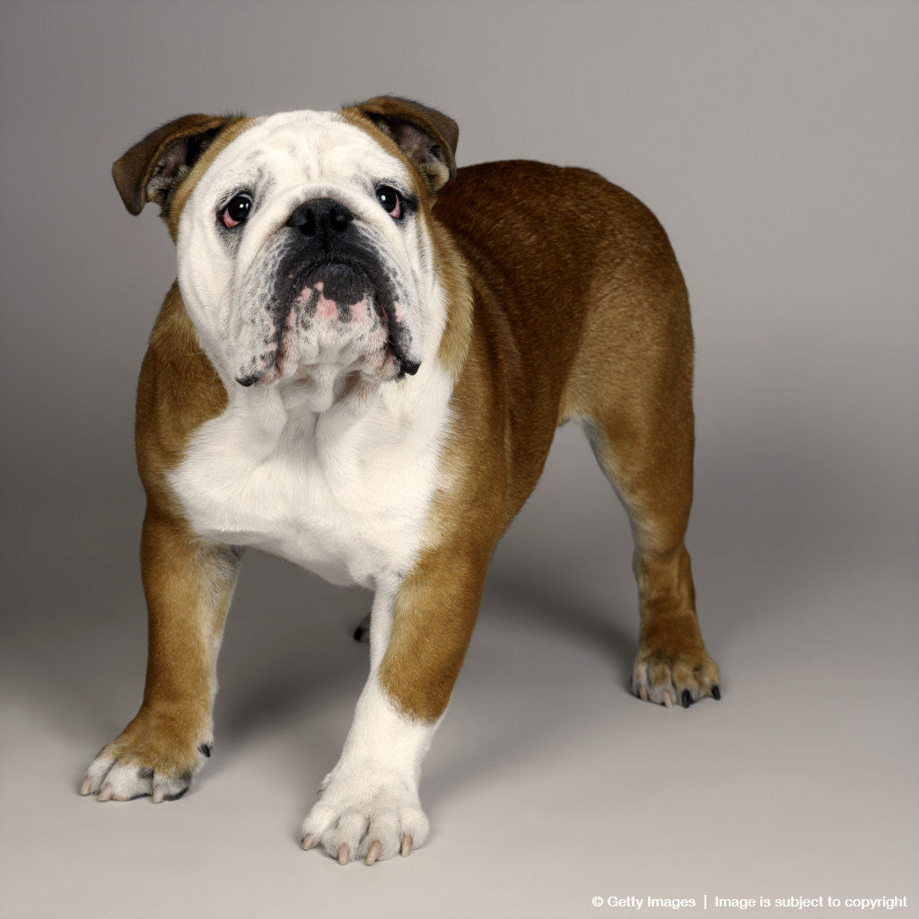 British bulldog (Canis lupus familiaris) on beach