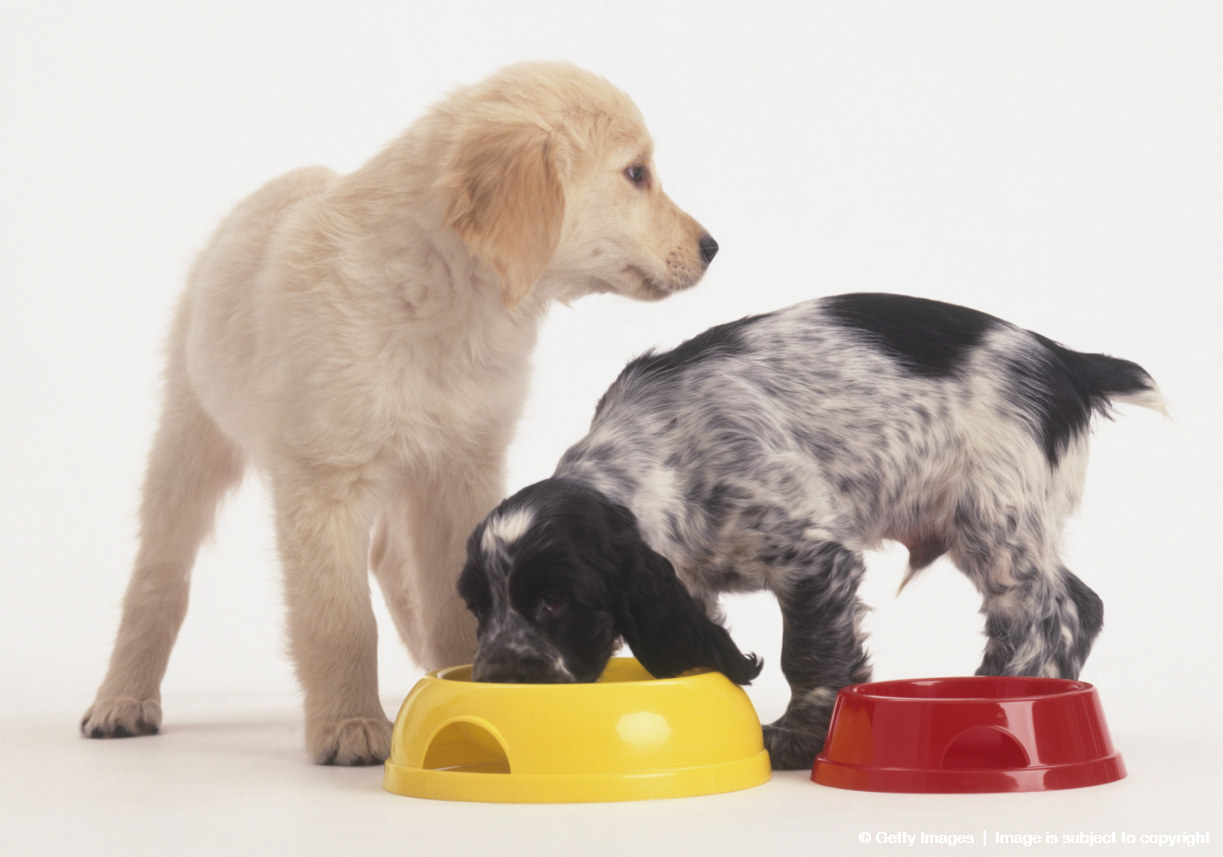 Black and white Cocker Spaniel puppy eating from Golden Retriever puppy's dog bowl