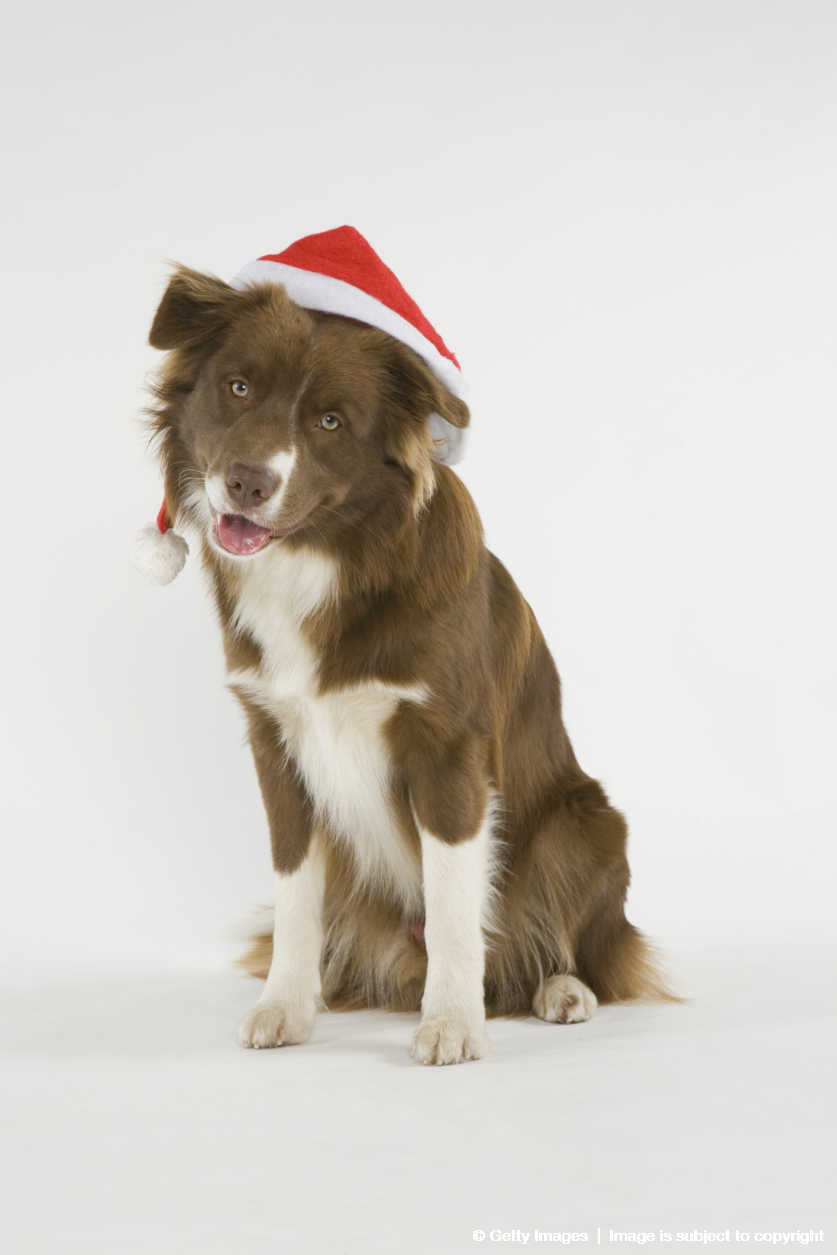 Australian Shepherd/Border Collie (Canis lupus familiaris) mixed breed wearing santa hat