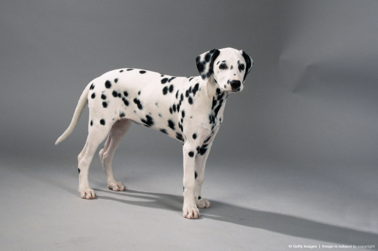 Dalmatian, puppy, 13 weeks side