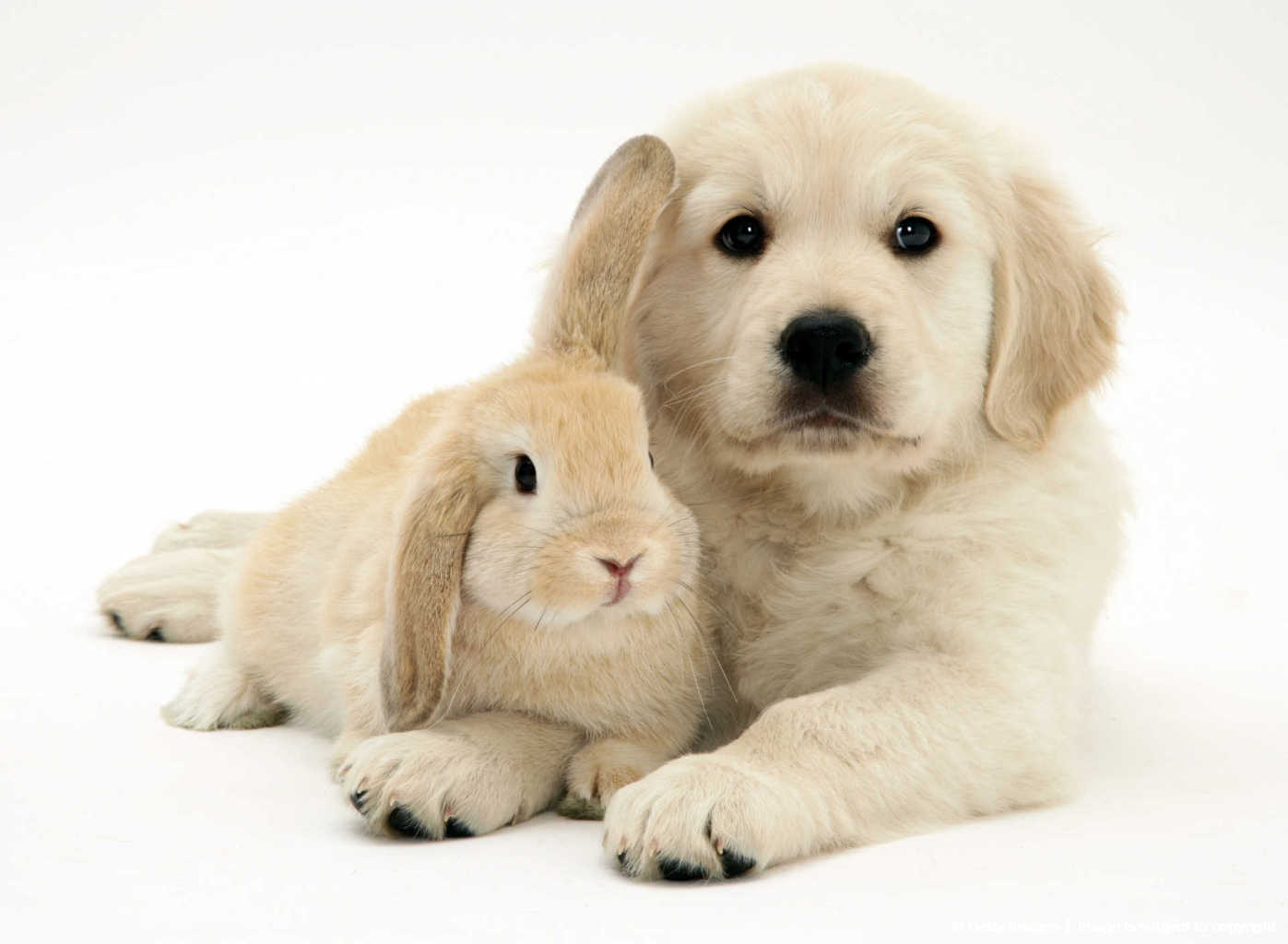 Golden Retriever with young Sandy Lop rabbit.