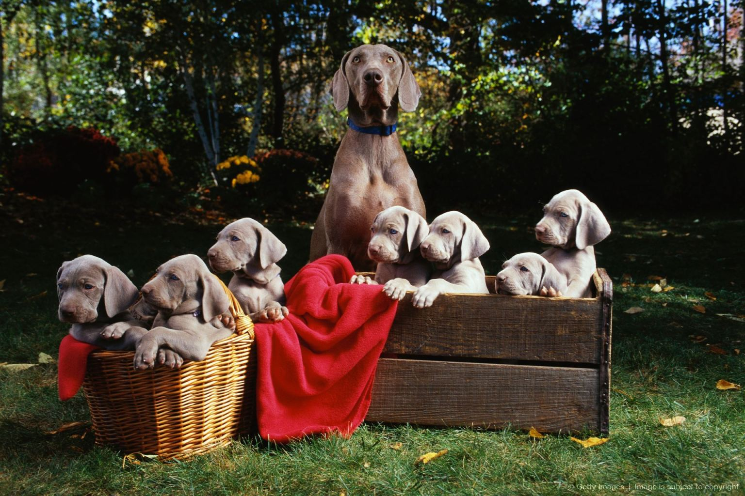 Weimaraner with Puppies