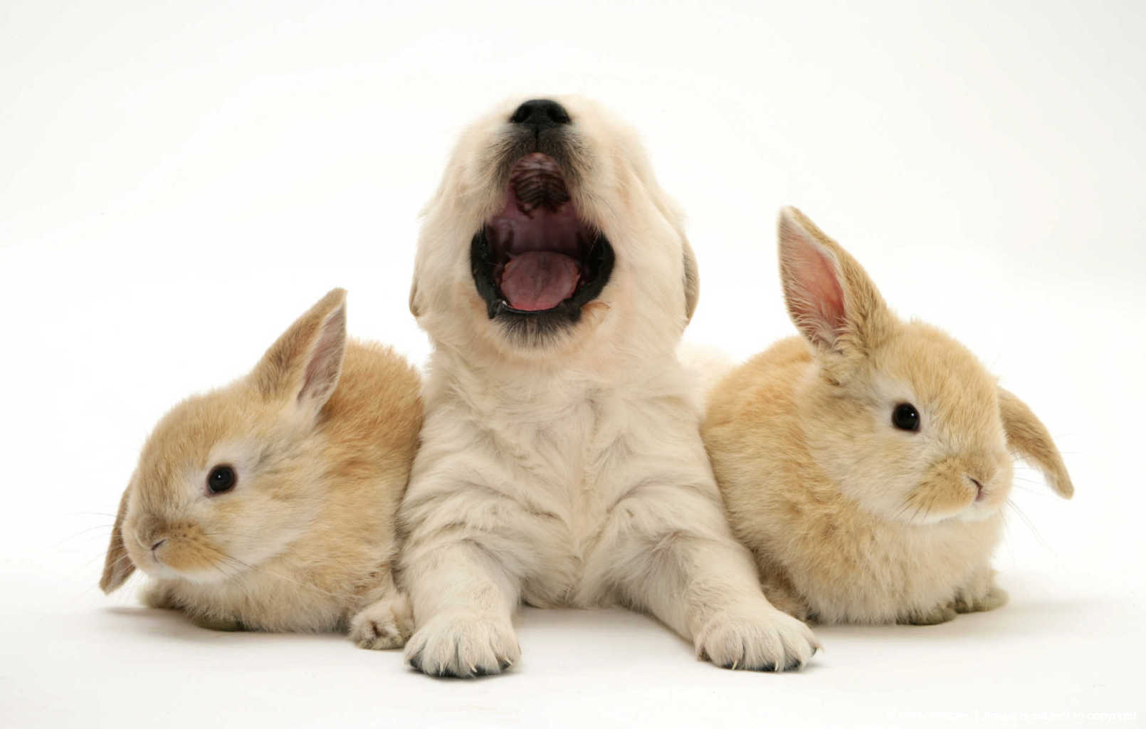 Golden Retriever pup yawning and two young Sandy Lop rabbits.